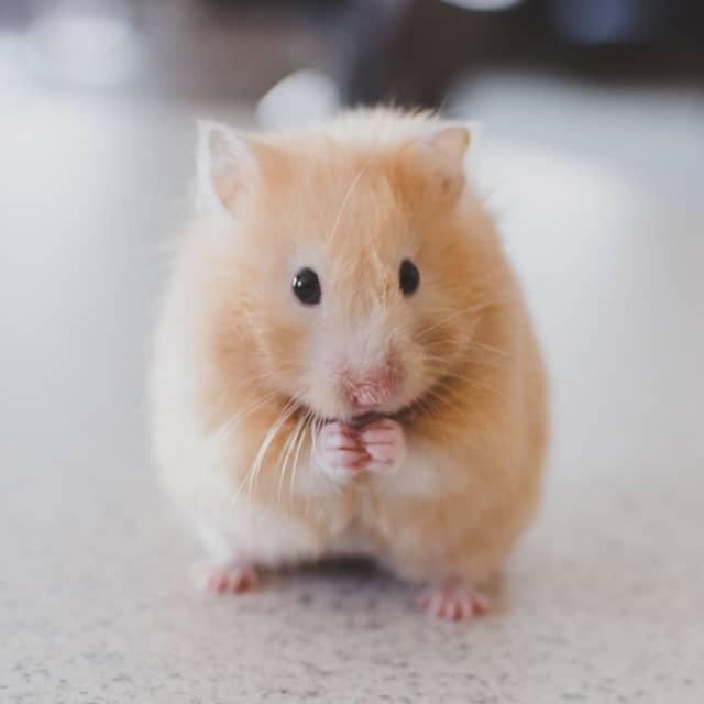 Goldhamster Hamsterhilfe Südwest Hamstervermittlung