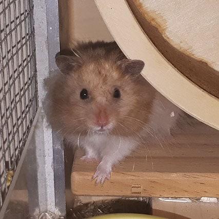 Goldhamster Mose Hamsterhilfe Südwest