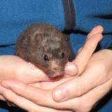 Lenny Goldhamster Hamsterhilfe Südwest