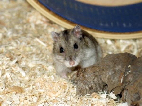 Hamsterhilfe Südwest Daytona