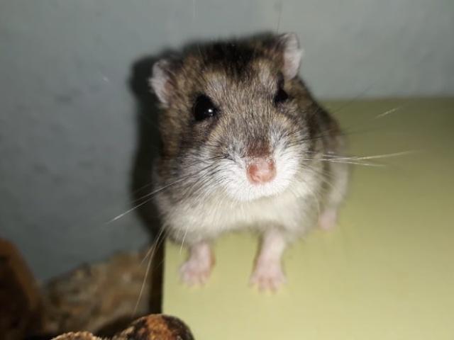 Hamsterhilfe Südwest Daiki