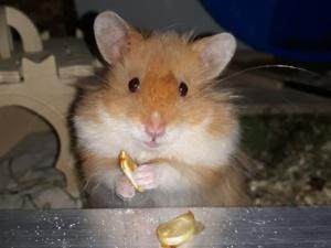 Hamsterhilfe Südwest Inuyasha