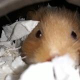 Hamsterhilfe Südwest Ingeborg