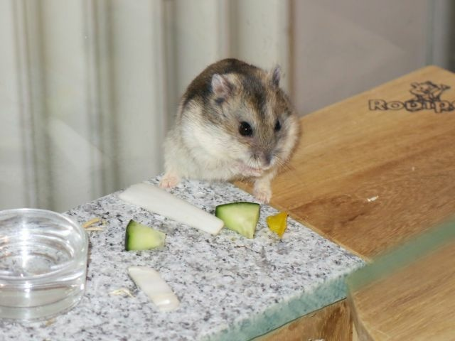 Hamsterhilfe Südwest Hybrid Agouti