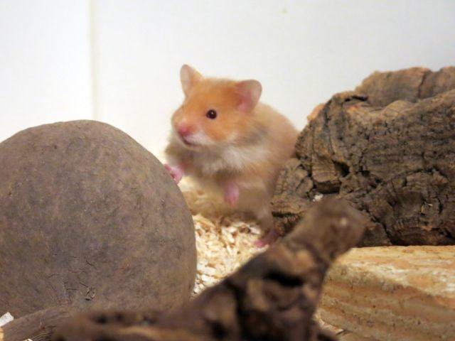 Hamsterhilfe Südwest Cinnamon Hamsterkinder