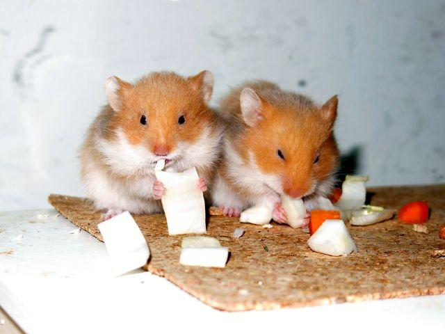 Hamsterhilfe Südwest Teddyhamster Cinnamon