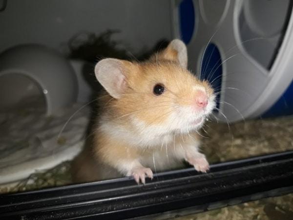 Hamsterhilfe Südwest Fraggle