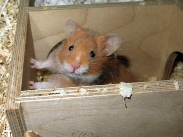 Hamsterhilfe Suuedwest Teddyhamster Cinnamon