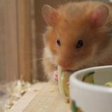 Hamsdterhilfe Suedwest Teddyhamster Cinnamon