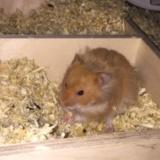 Hamsterhilfe Südwest Teddyhamster Zimt