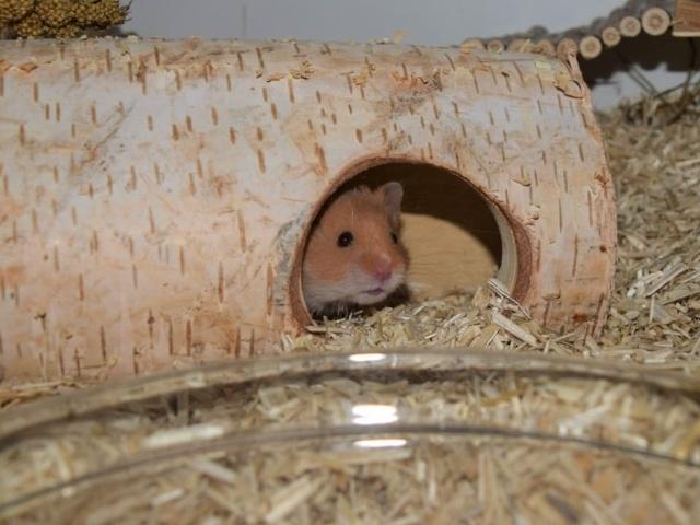 Hamsterhilfe Südwest Teddyhamster
