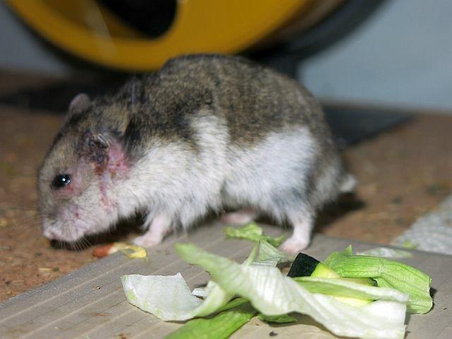 Hamsterhilfe Südwest Zwerghamster Hybrid