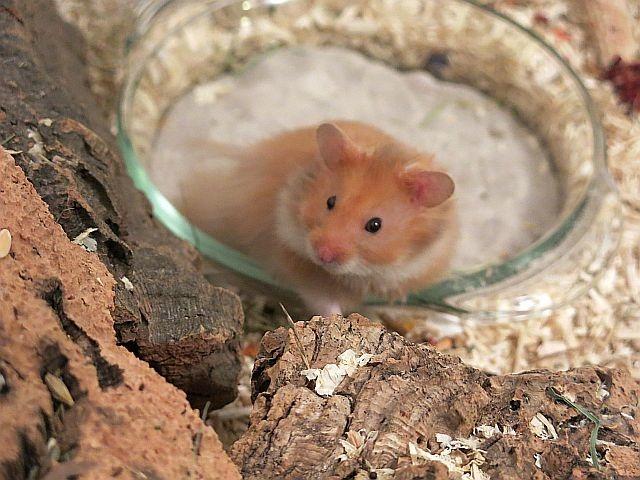 Hamsterhilfe Suedwest Teddyhamster Cinnamon