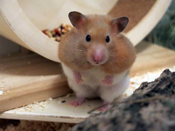 Hamsterhilfe Suedwest Goldhamster