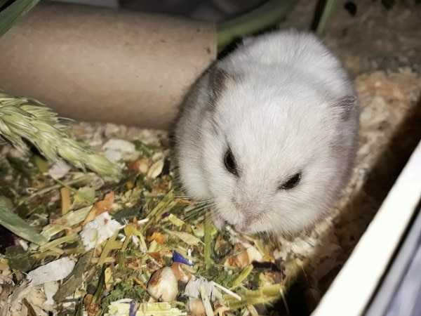 Hamsterhilfe Südwest Geraldine