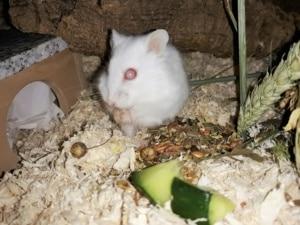 Hamsterhilfe Südwest Gerlinde