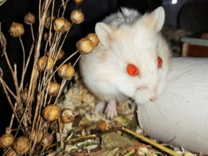 Hamsterhilfe Südwest Getrude