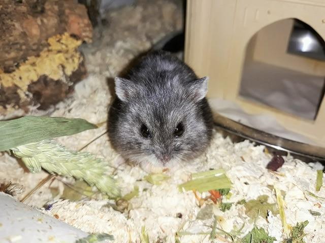 Hamsterhilfe Südwest Gabi