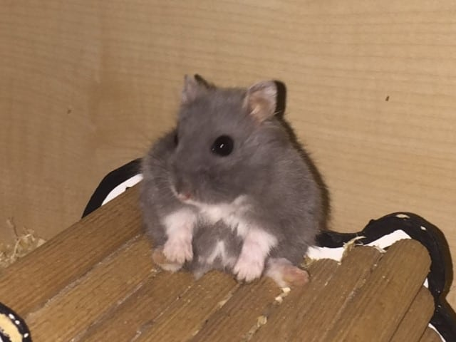 Hamsterhilfe Südwest Keks Hybrid Blue