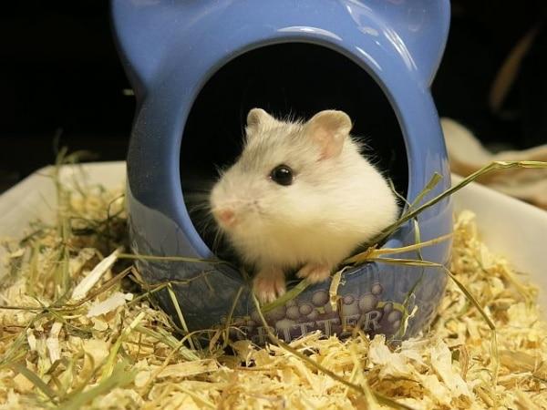 Hybrid Pearl Hamsterhilfe Südwest