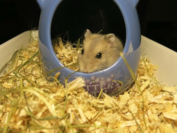 Hybrid Saphir Hamsterhilfe Südwest