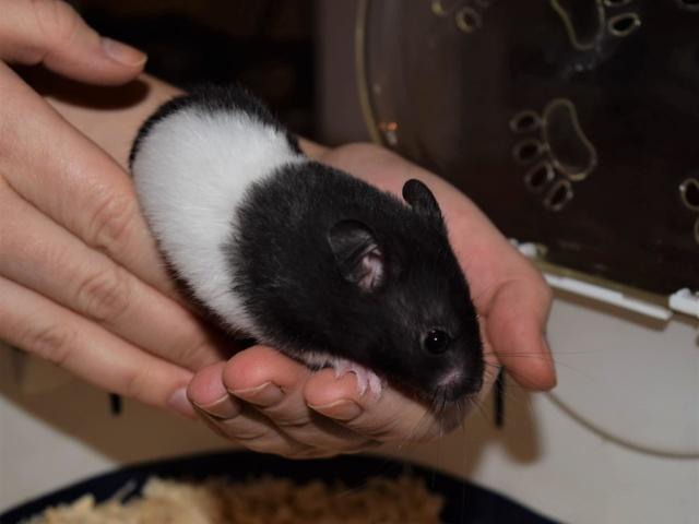 Hamsterhilfe Süüdwest Goldhamster