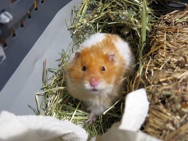 Dilbert Teddy Cinnamon banded Hamsterhilfe Suedwest
