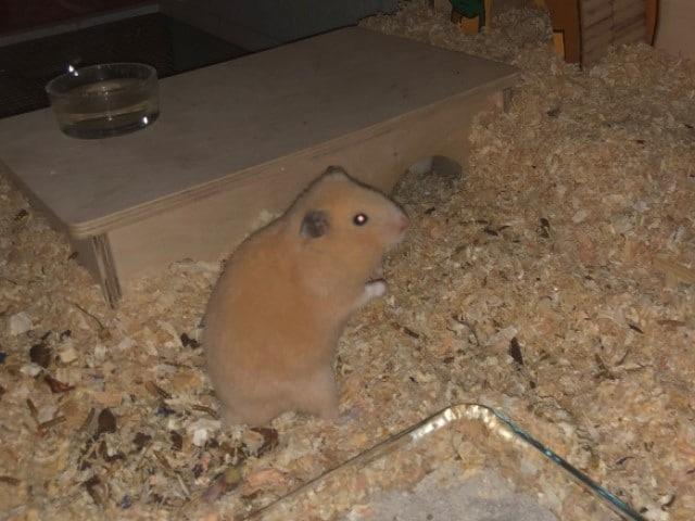 Goldhamster Hamsterhilfe Südwest