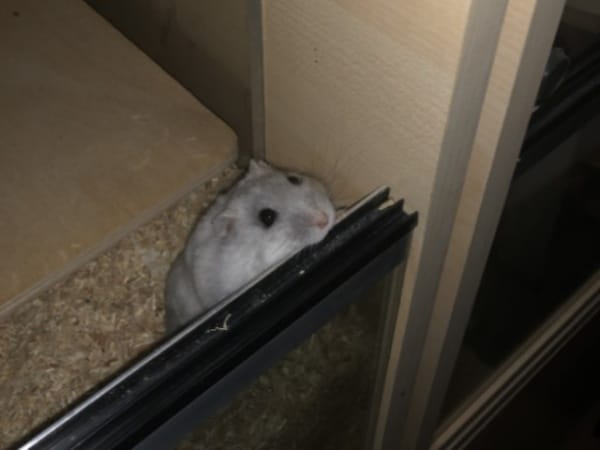 Hamsterhilfe Südwest Zwerghamster Mara