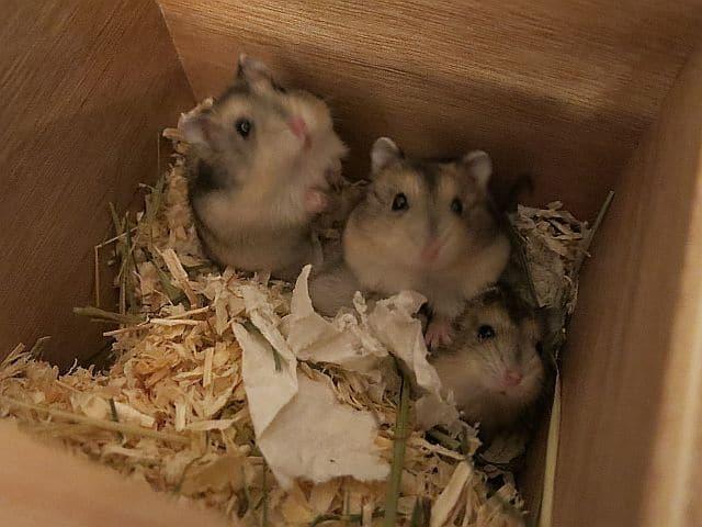 Hamsterhilfe Südwest Hybriden Agouti