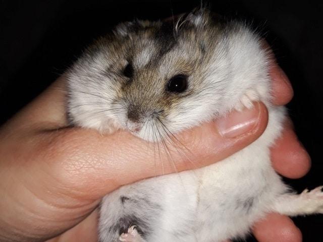 Hamsterhilfe Südwest Mr. Moppel