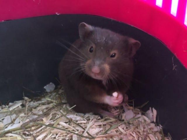 Toffee Hamsterhilfe Südwest Goldhamster