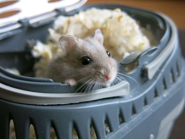 Hamsterhilfe Südwest Hybrid Saphir