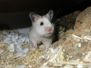 Hamsterhilfe Südwest Goldhamster Golden DS