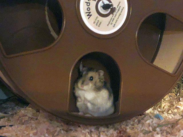 Hamsterhilfe Südwest Zwerghamster Agouti