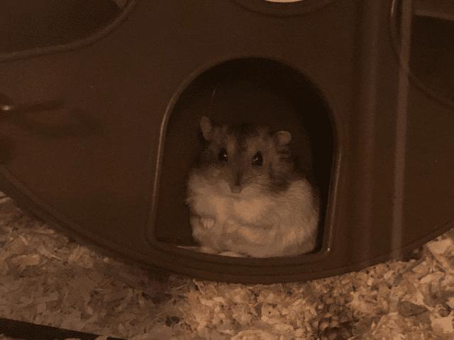 Hamsterhilfe Südwest Zwerghamster