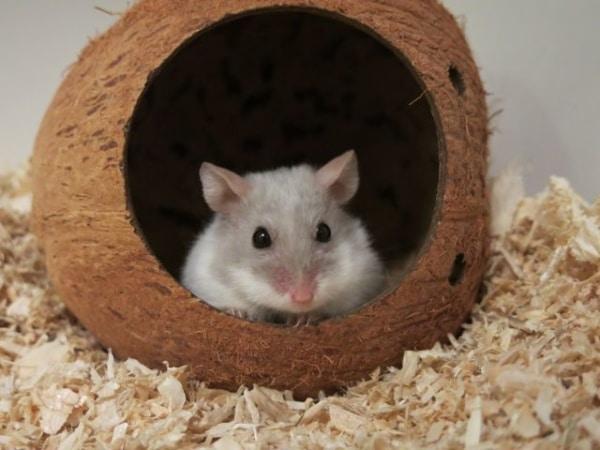 Hamsterhilfe Südwest Campbell Lilac
