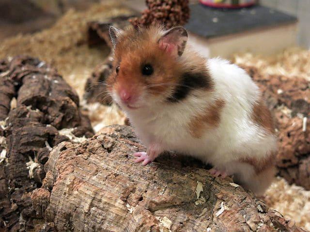 Hamsterhilfe Südwest Goldhamster Golden Banded