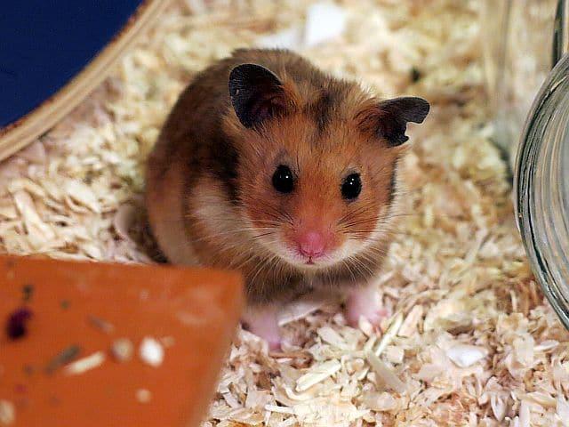 Hamsterhilfe Südwest Goldhamster Golden