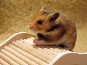 Hamsterhilfe Südwest Golden