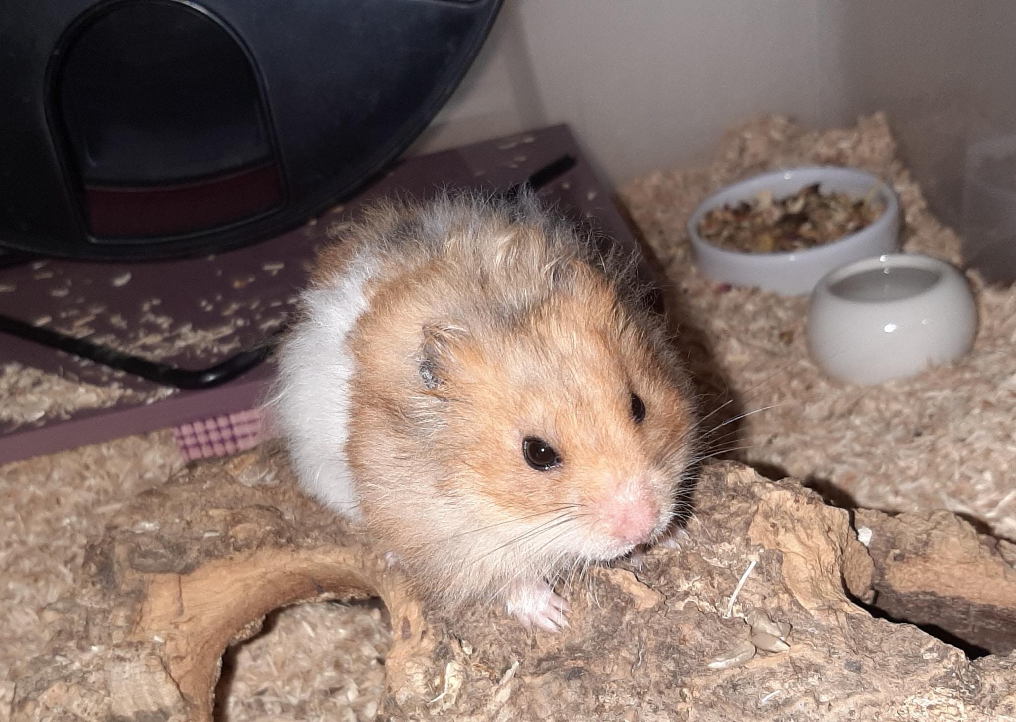 Woody Teddyhamster Hamsterhilfe Südwest