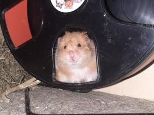 Watson Teddyhamster Hamsterhilfe Südwest