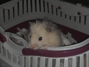 Teddyhamster Hamsterhilfe Südwest