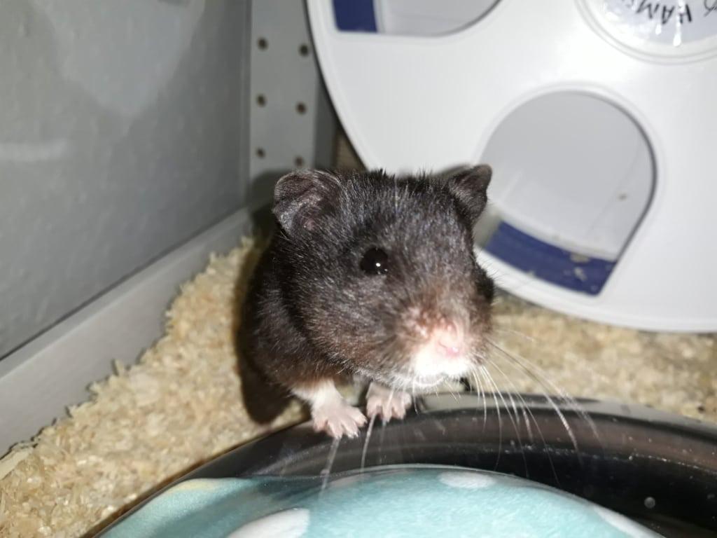 Hamsterhilfe Südwest Ginko