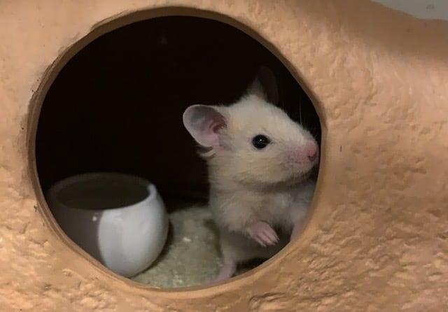 Hamsterhilfe Südwest Theo