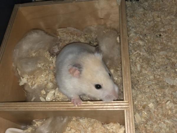 Hamsterhilfe Südwest Goldhamster Gwendolyn