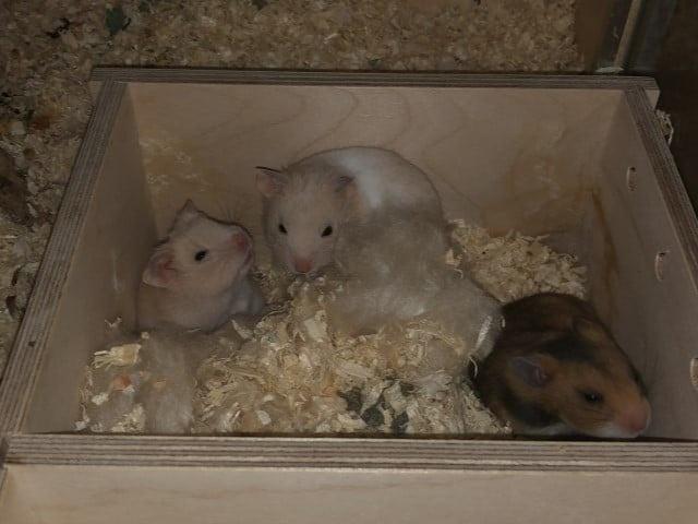 Hamsterhilfe Südwest Goldhamster Babies