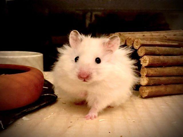 Hamsterhilfe Teddyhamster