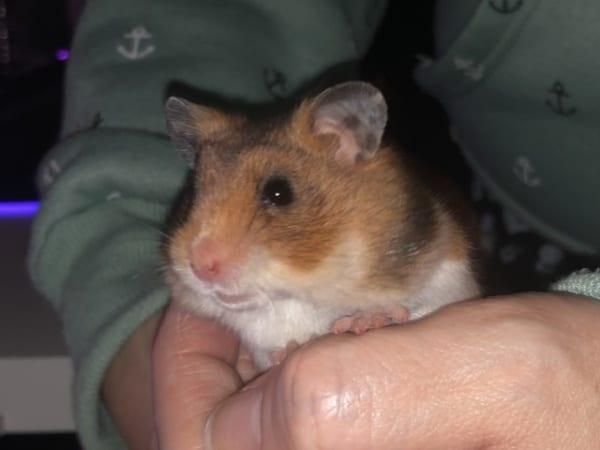 Tara Hamsterhilfe Südwest Goldhamster Babies
