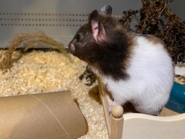 Hamsterhilfe Südwest Bina